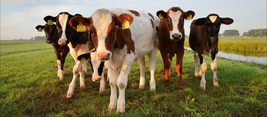Groep koeien in de wei