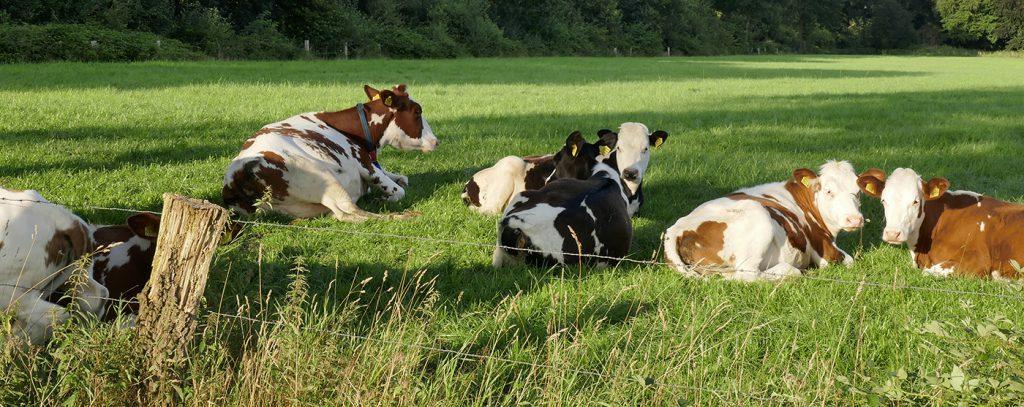 Koeien liggen in de wei