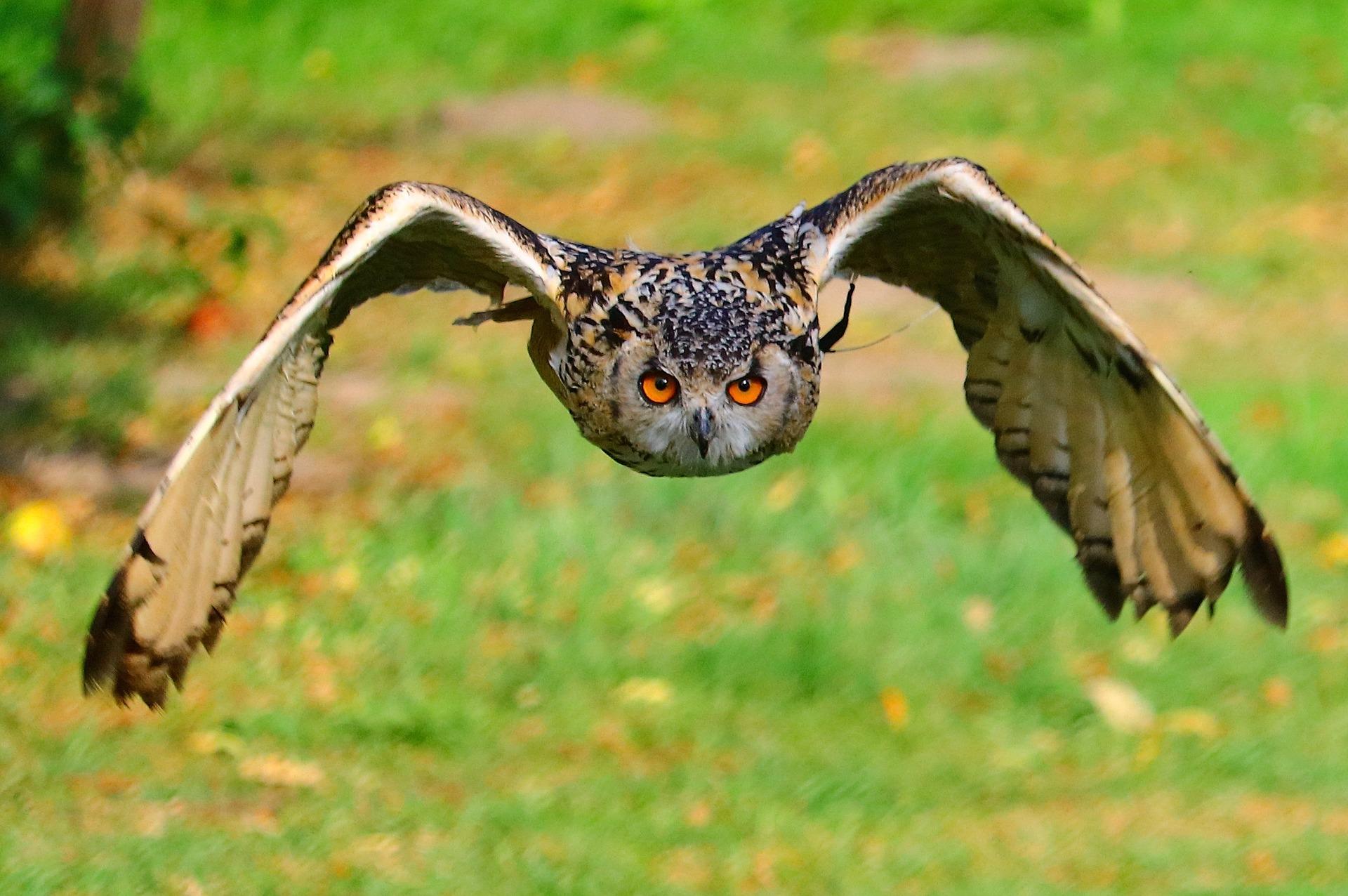 Vliegende uil